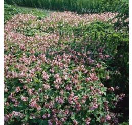 Geranium macrorrhizum ´Ingwersens´/ Pakost fialovoružový, C1,5