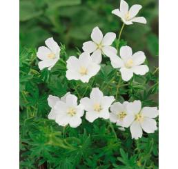Geranium sanguineum ´Album´/ Pakost biely, K9