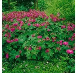 Geranium macrorrhizum ´Bevan´s Variety´ / Pakost podzemkatý, K9