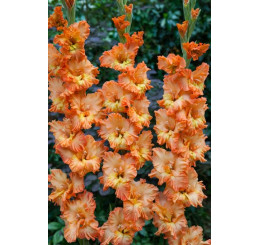Gladiolus ´Princess Frizzle´ / Mečík, bal. 5 ks, 12/14