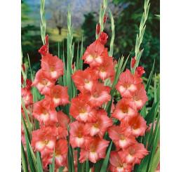 Gladiolus ´Spic and Span´ / Mečík, bal. 5 ks, 12/14