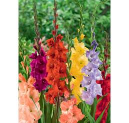 Gladiolus mix / Zmes mečíkov, bal. 60 ks, 12/14