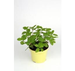BIO Mentha suaveolens x piperita Grapefuit / Grapefruitová mäta, K12
