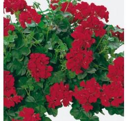 Pelargonium pelt. Happy Face® Velvet Red® / Muškát previsnutý, bal. 6 ks, 6x K7