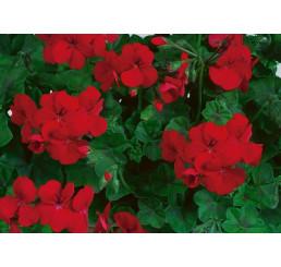 Pelargonium pelt. Happy Face® Velvet Red® / Muškát previsnutý, bal. 6 ks sadbovačov