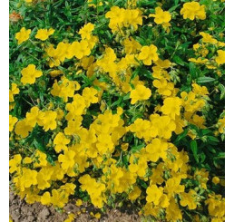 Helianthemum hybrida ´Golden Queen´ / Devätorník hybridný, K9