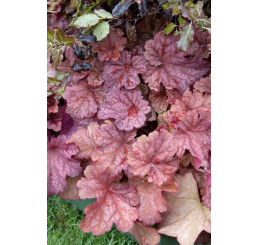 Heuchera x hybrida ´Berry Smoothie´ / Heuchera, C1