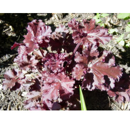 Heuchera americana Melting Fire / Heuchera, K11