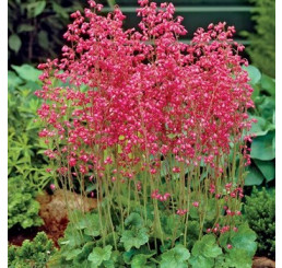 Heuchera sanguinea ´Ruby Bells´ / Heuchera krvavá, K9