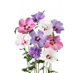 Hibiscus syriacus / Ibištek sýrsky mix farieb, bal. 10 ks VK na živý plot