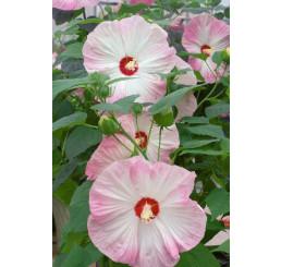 Hibiscus moscheutos ´Nippon Blush F1´ / Ibištek bahenný ružový, C2