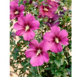 Hibiscus syriacus ´Russian Violet´ / Ibištek sýrsky, 30-40 cm, C4