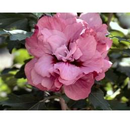 Hibiscus syriacus ´Duc de Brabant´ / Ibištek sýrsky, C2