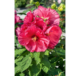 Hibiscus moscheutos ´Jazzberry Jam ´ / Ibištek bahenný veľkokvetý ružový, K17