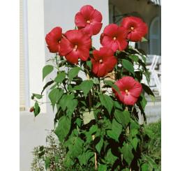 Hibiscus moscheutos ´Nippon Red F1´ / Ibištek bahenný červený, K9