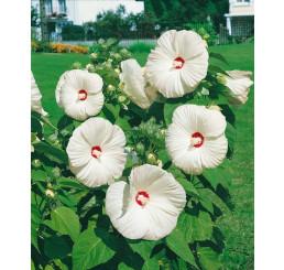 Hibiscus moscheutos ´Nippon White F1´ / Ibištek bahenný biely, C2