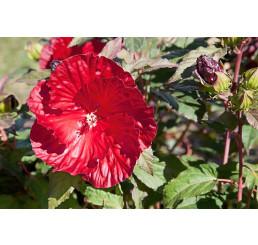 Hibiscus moscheutos ´Summerific Berry´ / Ibištek bahenný ružovo-červený, C2