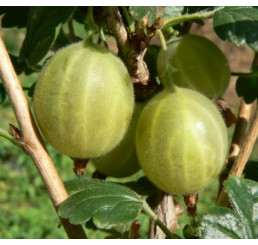 Ribes grossularia ´Hinnonmaki Gelb´ / Egreš žltý rezistentný, kmienok, rib. zl.