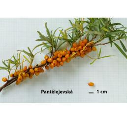 Hippophae rhamnoides ´Pantelejevská´ / Rakytník rašetliakový, samičia r., 30-40 cm, K9