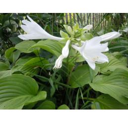 Hosta plantaginea 'Grandiflora' / Funkia skorocelová, C1