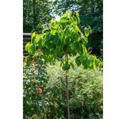 Diospyros kaki ´Býčie srdce´ / Hurmi  kaki / Ebenovník rajčiakový , 80-100 cm, C5