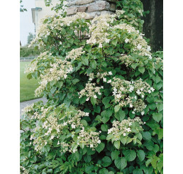 Hydrangea anomala petiolaris / Popínavá hortenzia, K9