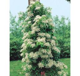 Hydrangea anomala petiolaris / Hortenzia popínavá, 30-40 cm, C2/C3