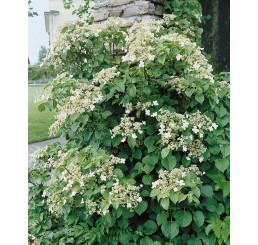 Hydrangea anomala petiolaris / Hortenzia popínavá, 25-30 cm, C2