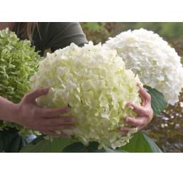 Hydrangea arborescens ´Strong Annabelle´® / Hortenzia, C3