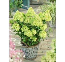 Hydrangea paniculata ´Little Lime´® / Hortenzia metlinatá, 25 cm, C3