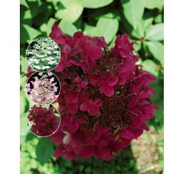 Hydrangea paniculata ´Wims Red´® / Hortenzia metlinatá, 25-30 cm, C1,5