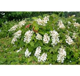 Hydrangea quercifolia ´Ice Crystal´ / Hortenzia dubolistá, 25-30 cm, C3