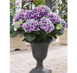 Hydrangea bicolor ´Tivoli´/ Hortenzia dvojfarebná,20-30 cm, K12