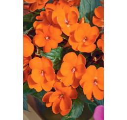 Impatiens ´New Guinea Magnifico® Orange´ / Netýkavka oranžová, bal. 6 ks, 6x K7