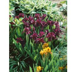 Iris pumila ´Cherry Garden´ / Kosatec nízky, K9