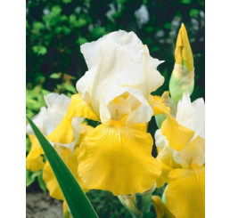 Iris germanica ´Festival´ / Kosatec nemecký, I.