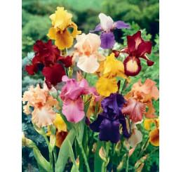 Iris germanica ´Mix´ / Kosatec nemecký zmes, bal. 3 ks, I.