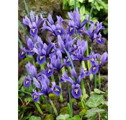 Iris reticulata ´Harmony´ / Skalkový kosatec, bal. 10 ks, 6/+