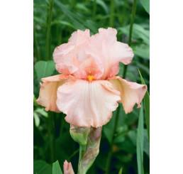 Iris germanica ´Pink Horizon´ / Kosatec nemecký, I.