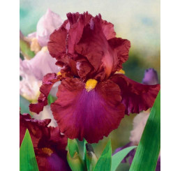 Iris germanica ´Red Zinger´ / Kosatec nemecký, I.