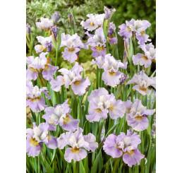 Iris sibirica ´Roanoke´s Choice´ / Kosatec sibírsky, K9