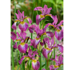 Iris sibirica ´Sparkling Rose´ / Kosatec sibírsky, C1