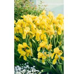 Iris germanica ´Yellow´ / Kosatec nemecký žltý, I.