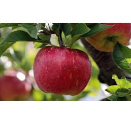 Jablká červené, 65+. ks
