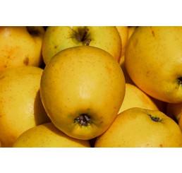 Jablká Golden, 65+, ks