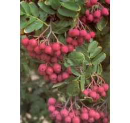 Sorbus aucuparia / Jarabina sladká ´Granatina´, sem