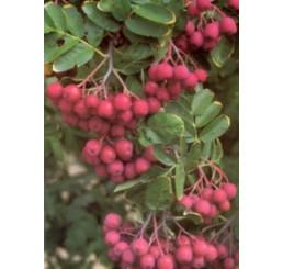 Sorbus x aronia ´Likjornaja / Sorboarónia, Jarabinoarónia, 80 cm, C5