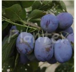 Prunus domestica  ´Jojo´ / Slivka jesenná rezistentná, wangen.