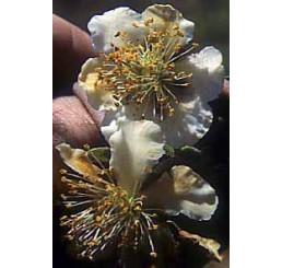 Actinidia chinensis ´Atlas´ / Opeľovač kiwi, samčia r., C2