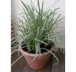 BIO Tulbaghia violacea / Cesnaková tráva, K12